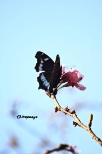 Sakura & Its Beauty