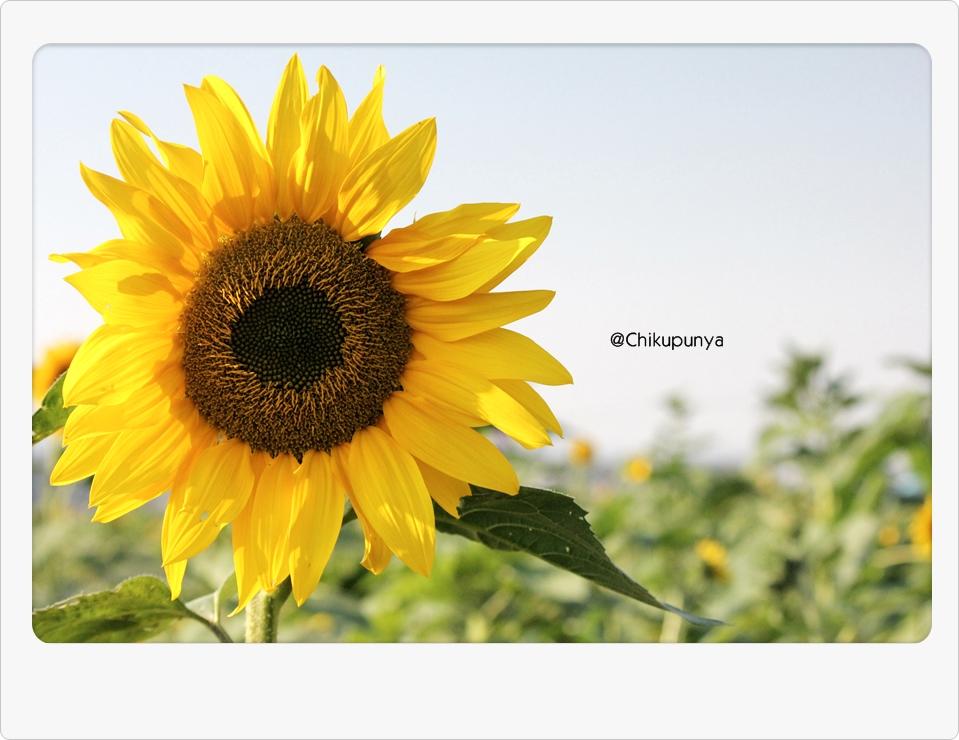 [Kurochan] Sun Flowerda!